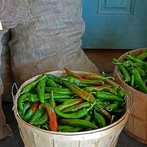 Bags of Chile
