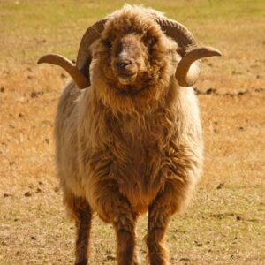 Churro sheep