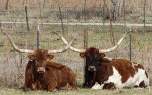 Long Horn cows