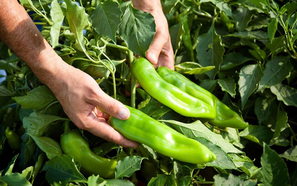 Picking green chile