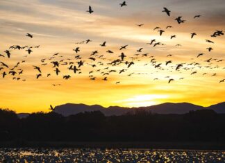 Sunset cranes at Bosque del Apache