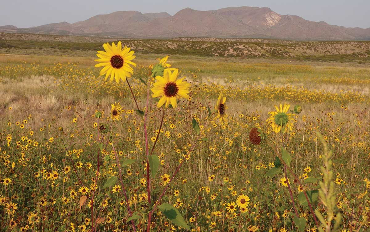 Bosque del Apache sunflower meadow
