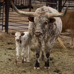 New Mexico Farm and Ranch Heritage Museum longhorns