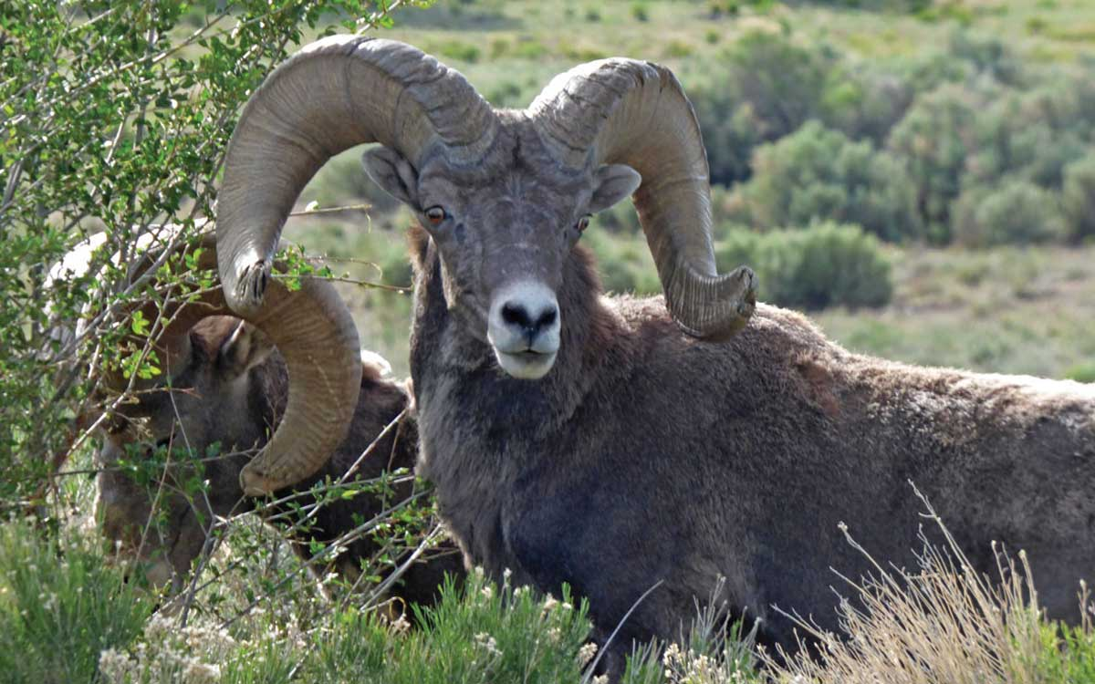 Bighorn at the Rio Grande Gorge
