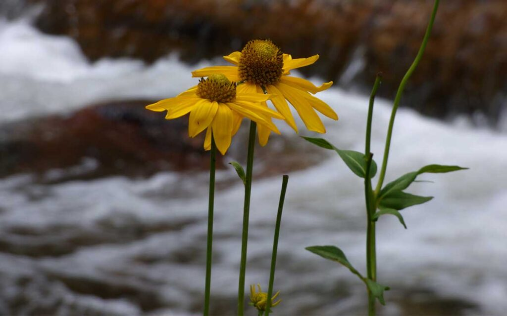 Sunflower by the Pecos River in Cowles